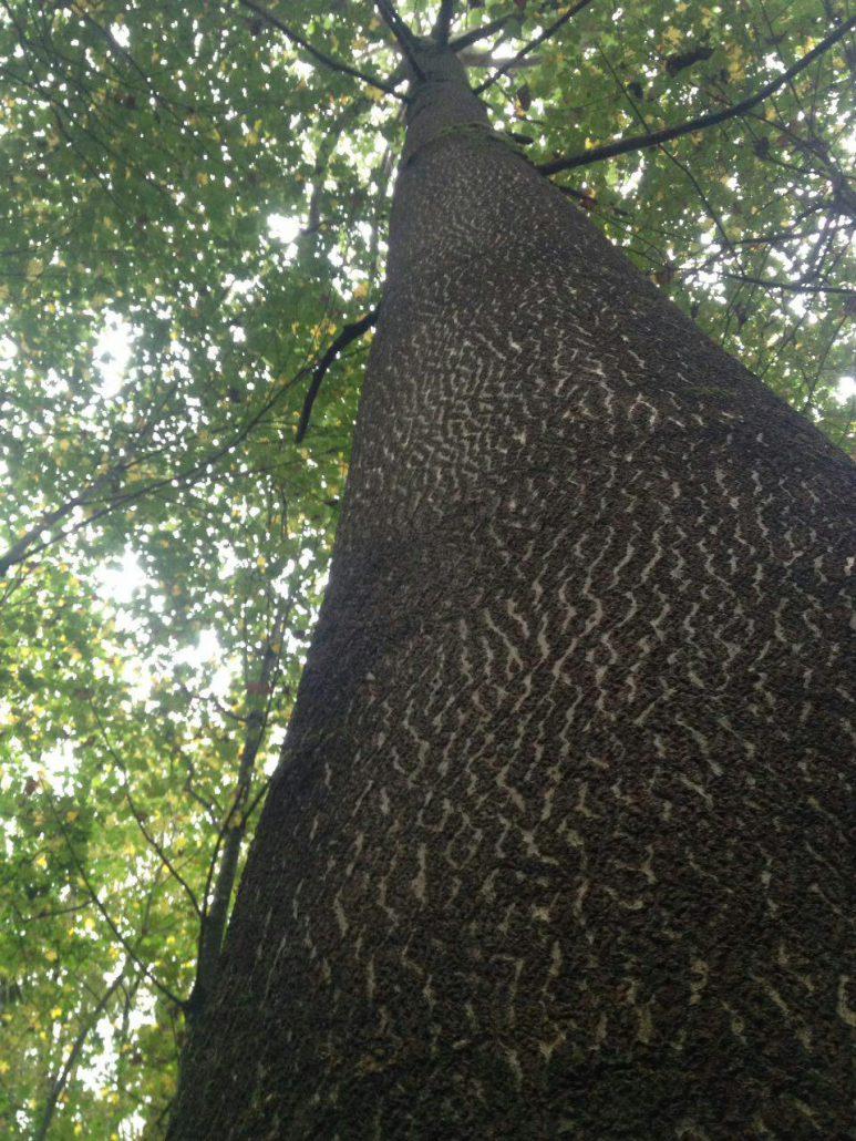 درخت پالونیا بعد از 7 سال