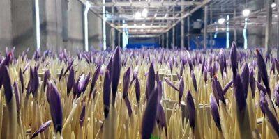 کشت گلخانه ای زعفران هیدروپونیک یا هواکشت