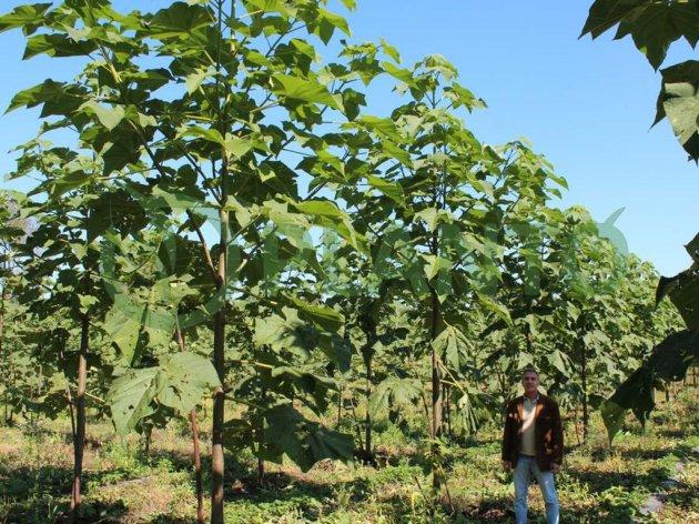 مزرعه پالونیا در دوسالگی درختان