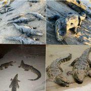 هجوم تمساح های گاندو به روستاهای سیستان در اثر سیل